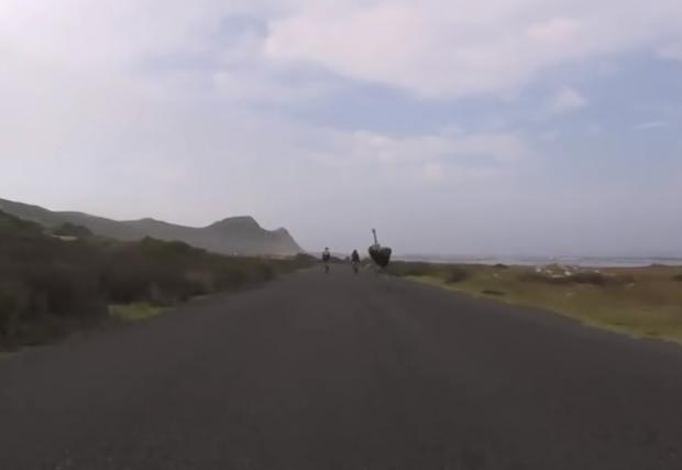 Щраус упорито преследва колоездачи в Южна Африка. Забавно видео